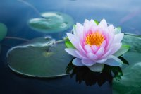 Vietnam Facts: The lotus flower is the national flower of Vietnam