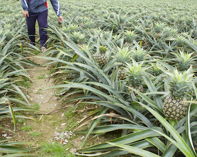 Pineapples grow in bushes