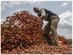 Cocoa Bean harvest - image by dpa