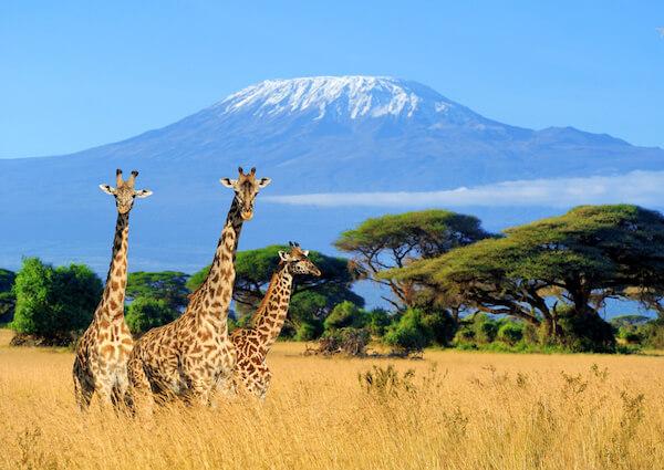 Kenya Giraffes in Amboseli National Park
