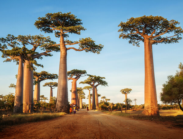 Indian Ocean island Madagascar's is known for its baobab alley