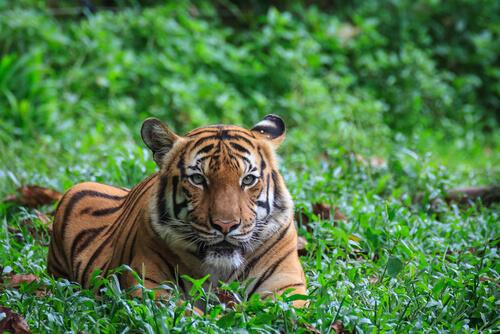 Asian tiger in Malaysia