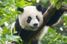 Panda - image by Shutterstock