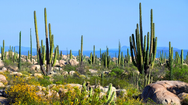 Mexico's Baja California is known for its cactus valley