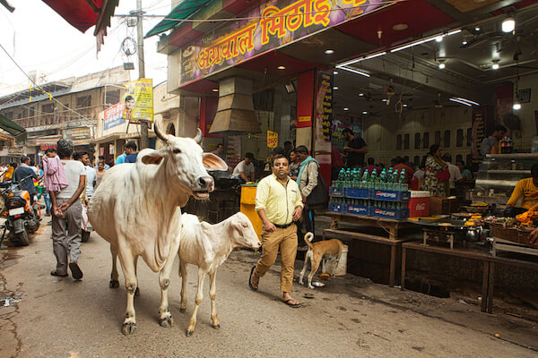 India Cows in Uttar Pradesh street - image by PIRANHAS ROY/shutterstock.com