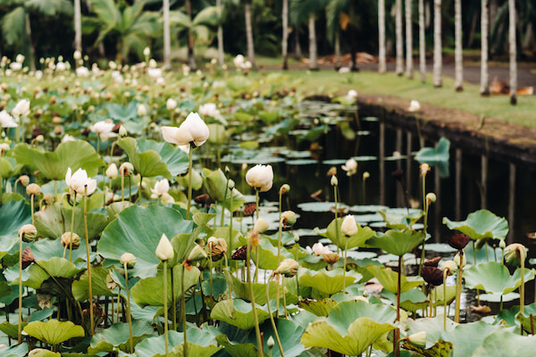 Waterlilies in bloom in Mauritius Botanic Gardens