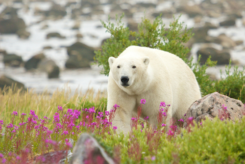 Polar Bear at Hudson Bay by CHBaum at Shutterstock
