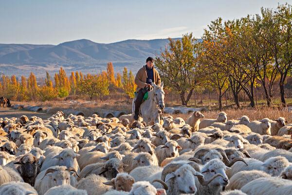 Georgian sheep farmer and sheep - image by MehmetO/shutterstock.com