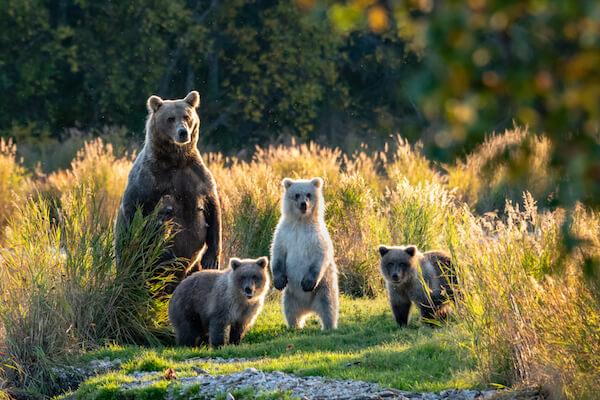 Alaskan brown bear with cubs