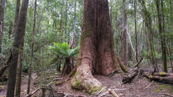 Giant gum trees in Tasmania
