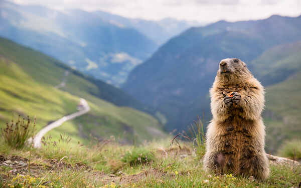 Marmot in Mountains