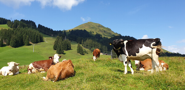Cows on Austrian mountain pasture