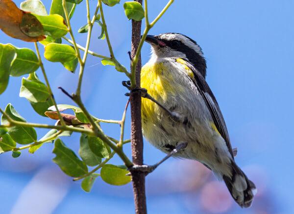 Bahamas Bananaquit endemic bird