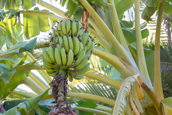 Banana plant with green bananas