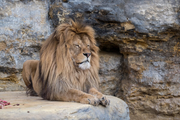 Barbary lion - image from shutterstock.com