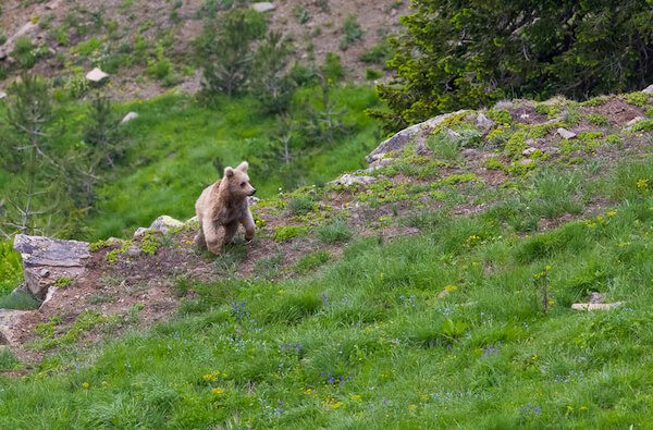 Bear near Savsat in north eastern Turkey
