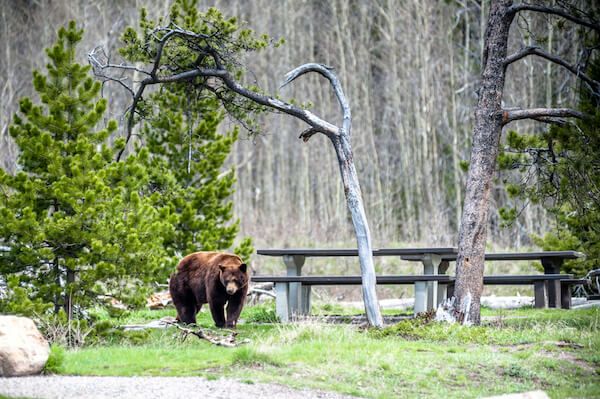 Grizzly bear on camp ground in Alberta
