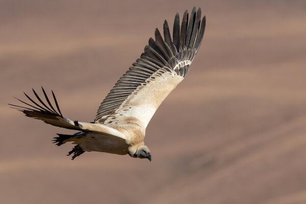Cape Vulture - Image by Gideon Malherbe/shutterstock.com