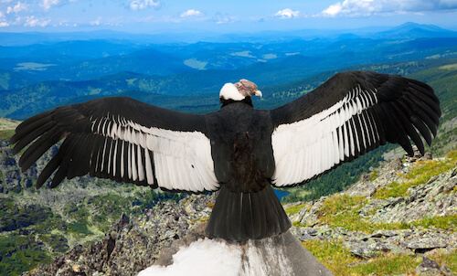 Male Chilean Condor with open wings in the Andes