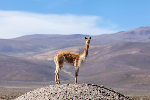 Chilean Vicuna in the Andes