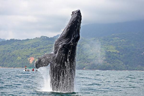 Breaching Whale in Ballena Marine National Park in Costa Rica
