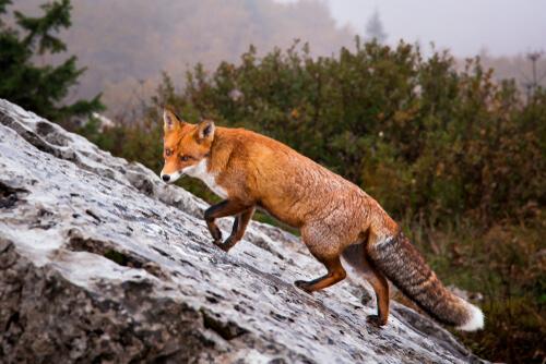 Croatia red fox