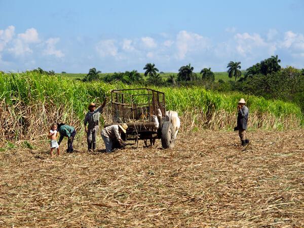 Cuba sugarcane harvest - image by Sergey-73/shutterstock.com