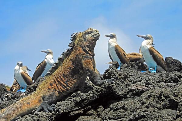 Marine iguana and blue-footed boobies