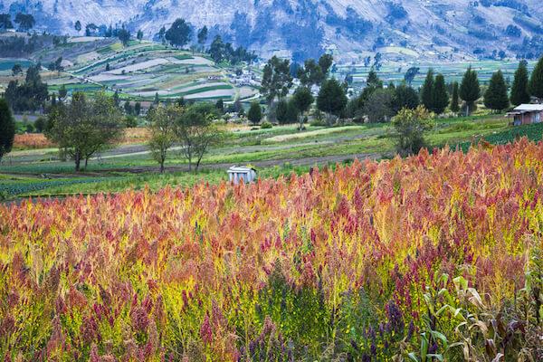 Quinoa fields in Ecuador