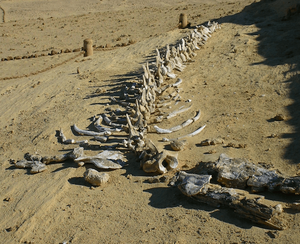 Fossil bones at Wadi Al Hitan - Whale Valley - image by UNESCO Veronique Dauge