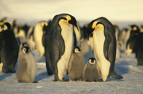 Emperor Penguins with penguin chicks in the Southern Ocean - image by Shutterstock