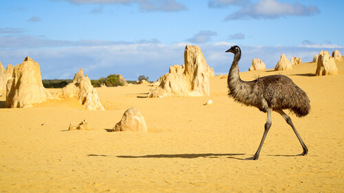 Emu in Pinnacle Desert - Numbung National Park in Australia - image by Neale Cousland