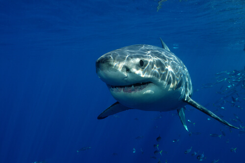 Great white shark by David P Stephens/shutterstock.com
