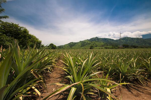 Pineapple plantation in Guatemala - image by shutterstock