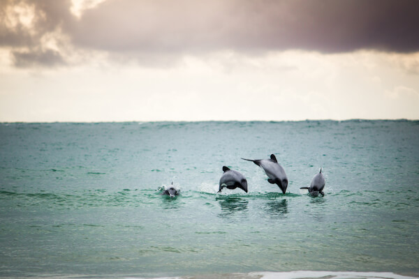 Hector dolphins in New Zealand