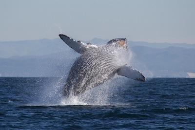 Humpback Whale by Tory Kallman