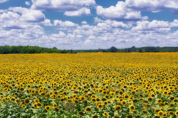Sunflower field in Hungary