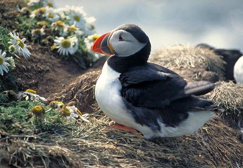 Puffin at Latrabjarg by gregi at sxc.hu
