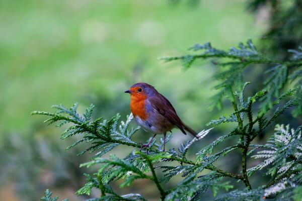 Ireland Redbreast Robin