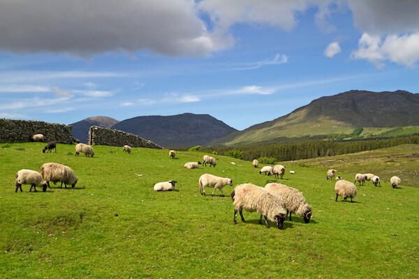 Sheep on field in Ireland