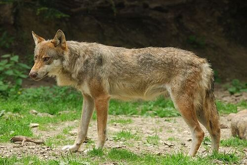 italian wolf - wikicommons