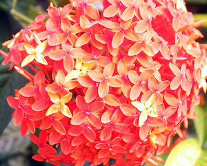 Ixora or FayaLobi plant - National flower of Suriname