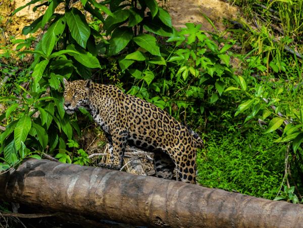 Jaguar in Suriname