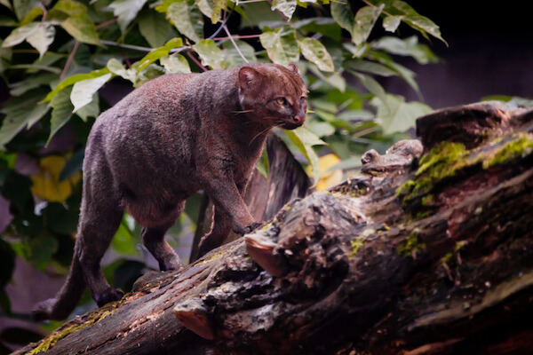 Jaguarundi feral cat with slender body and broad tail