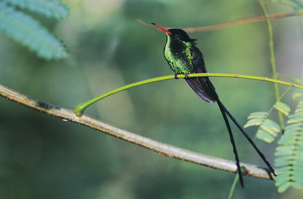 Red billed streamer bird - Jamaican national bird