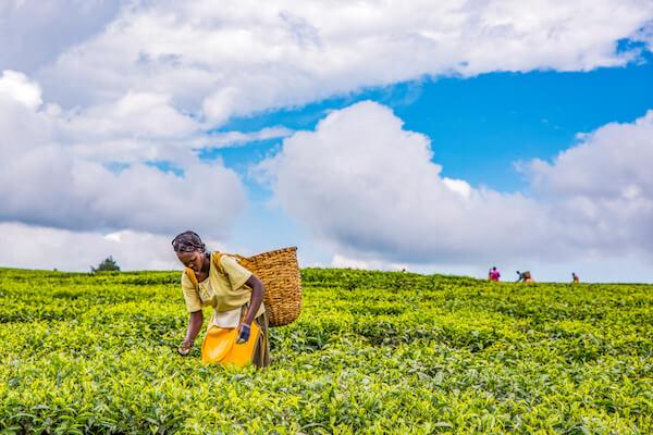 Kenyan tea plantation worker in Nandi Hills - image by Jen Watson/shutterstock