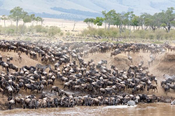 Mara River wildebeest migration