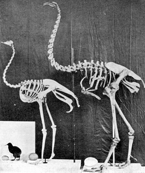kiwi, ostrich and moa comparison - image from wikimedia wikicommons