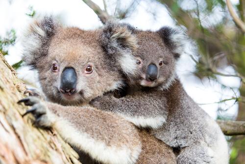 Koala - typical Australian animal