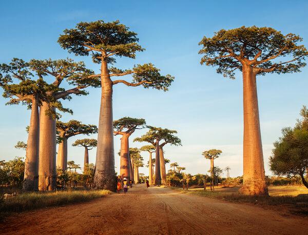 Madagascar Baobab Valley